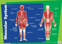 Chart Muscular System  9781920926120